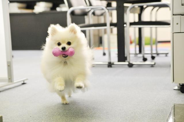 小型犬が走る時には滑らないように